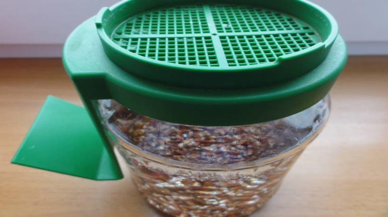 jak naklíčit pšenici mungo hrách