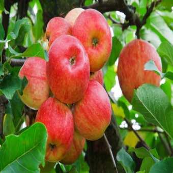 jablečný ocet účinky