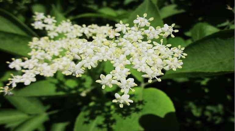 květy černého bezu-sambucus-nigra